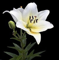 lily-262112_640-200x300_cropped