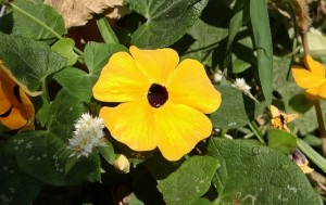 black-eyed-susan-vine-217365_640