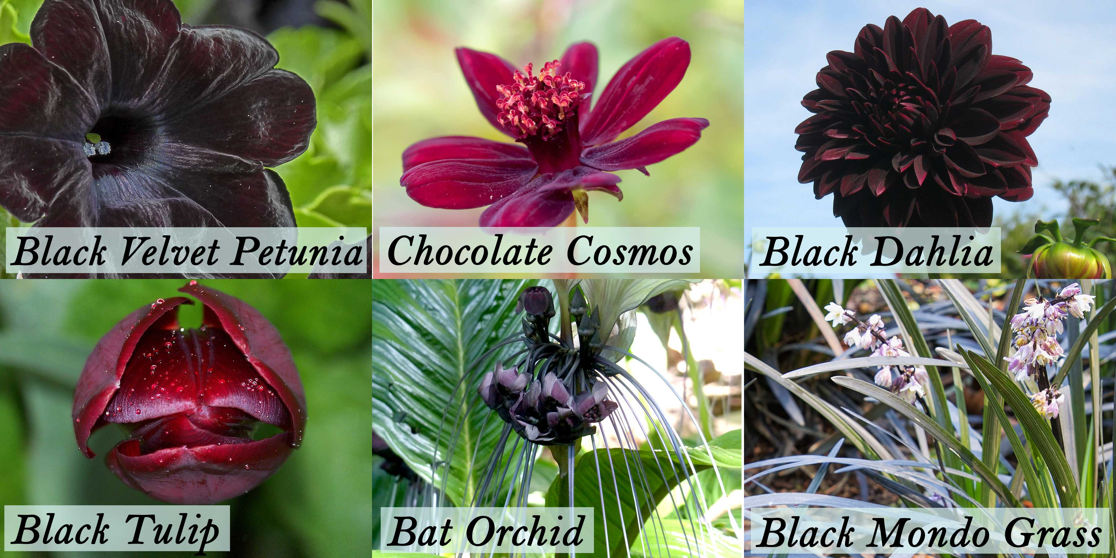 Types of Black Flowers