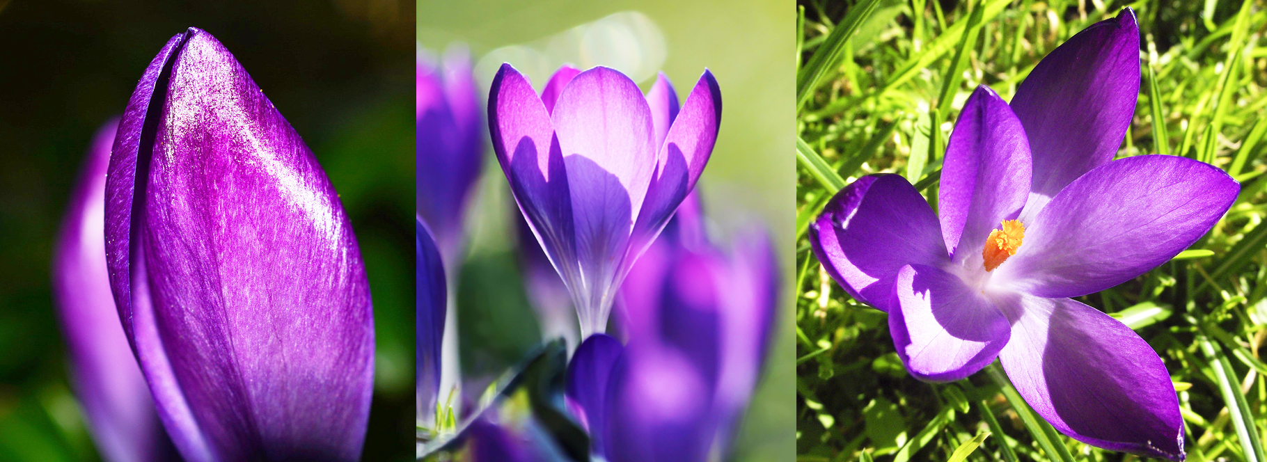 crocus-stages-of-blooming