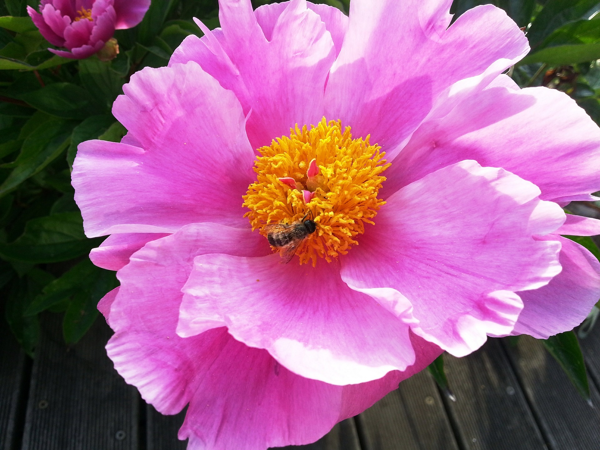 Ant-on-a-Peony