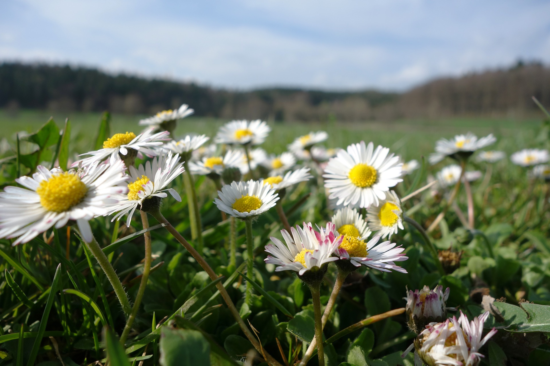 A History Of Daisies