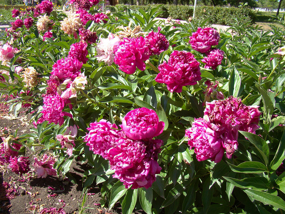Peony-Flower-Bed