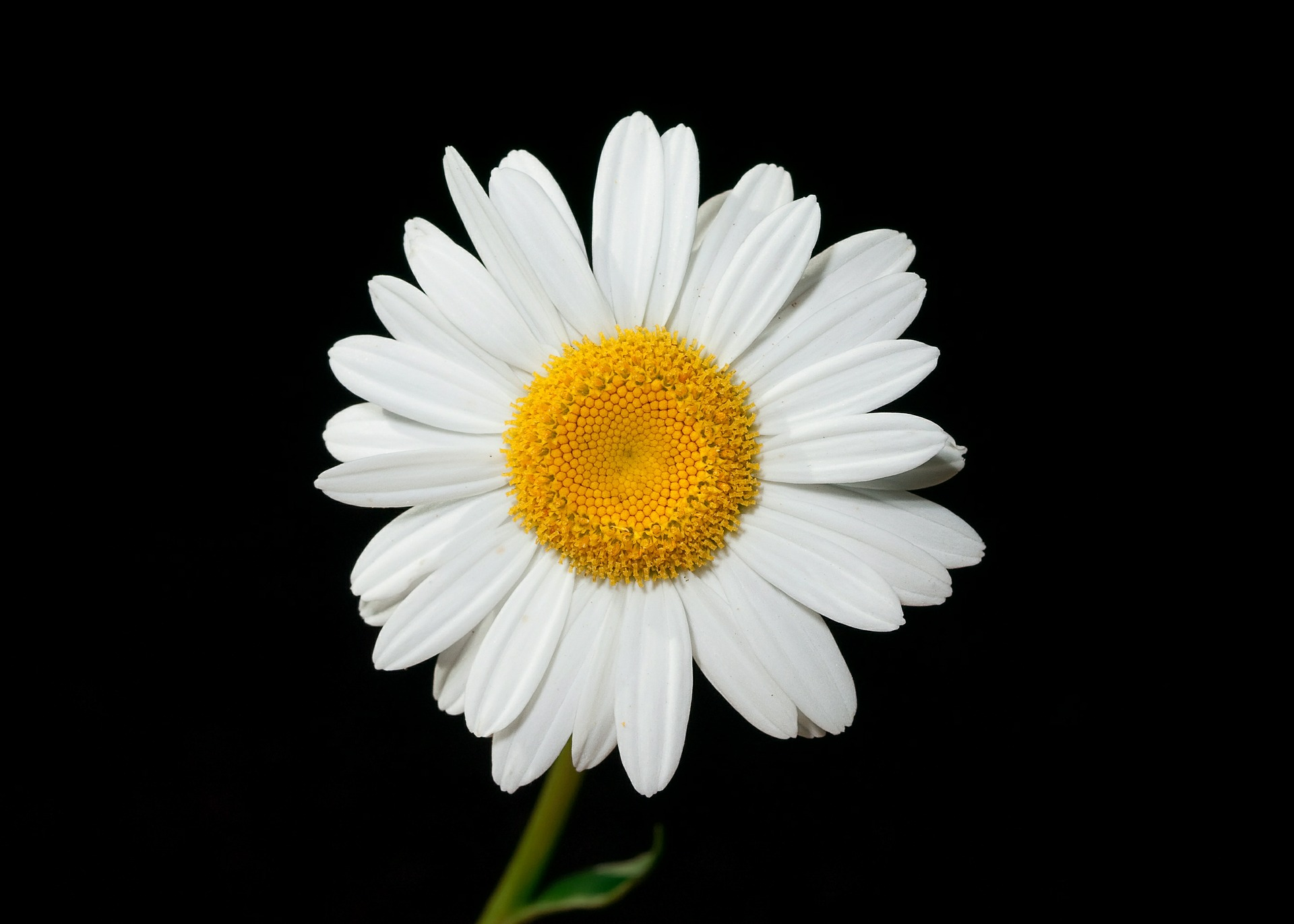 Single-Daisy