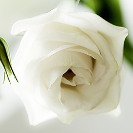 White-Rose-Feature