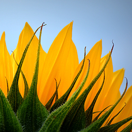 Sunflower-Petals-Feature