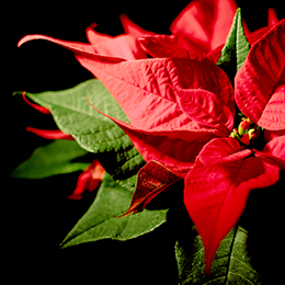 Poinsettia-Feature