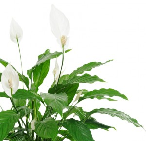 Classic-Peace-Lily